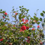 〔植物図鑑:Plants Picture Book in Japan〕:椿 -Camellia-