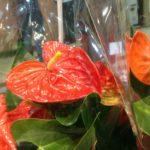 夏の暑さに耐える花。観葉植物:アンスリューム