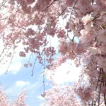 〔植物図鑑:Plants Picture Book in Japan〕:枝垂桜 -Weeping Cherry Tree-