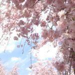 〔植物図鑑:Plants Picture Book in Japan〕:枝垂桜 -Weeping Cherry Tree-