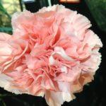 〔植物図鑑:Plants Picture Book in Japan〕:カーネーション – Dianthus caryophyllus –