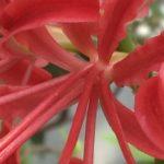 〔植物図鑑:Plants Picture Book in Japan〕:彼岸花 – cluster amaryllis –