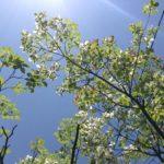 〔植物図鑑:Plants Picture Book in Japan〕:花水木 -Dogwood- 京都編 ー Kyotoー