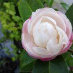 〔植物図鑑:Plants Picture Book in Japan〕:山茶花(sazanka)八重咲 – Camellia sasanqua –
