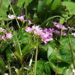 〔野花図鑑:Wild flower in Japan〕:ムラサキカタバミ -oxalis corymbosa-