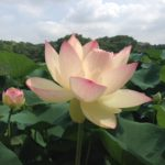 Outing info. Beautiful blooming Lotus in Osaka Japan.