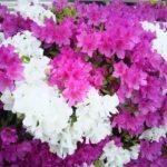 〔植物図鑑:Plants Picture Book in Japan〕:躑躅 - Azalea –