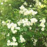 〔植物図鑑:Plants Picture Book in Japan〕:白薔薇 – white rose –